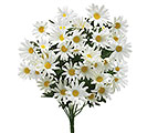 WHITE SILK DAISY BUSH
